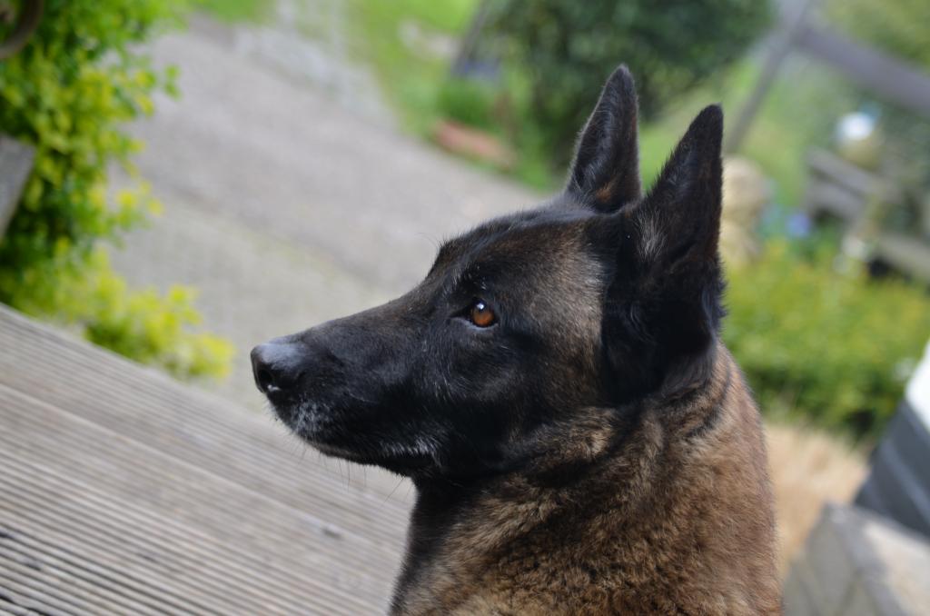 Anjing Gembala Belgium Jenis Ciri Baka
