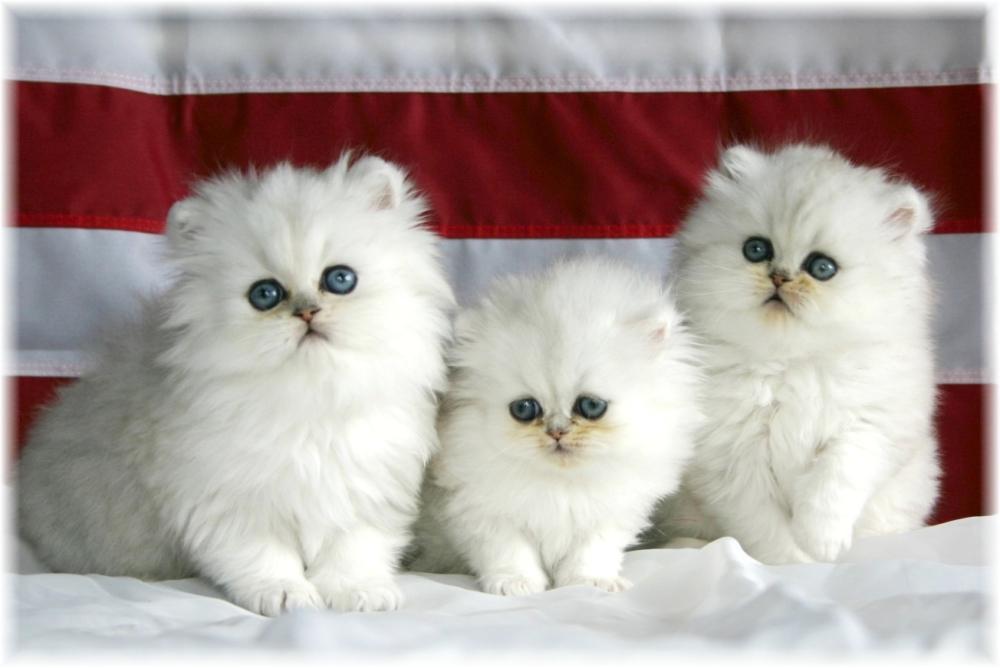 Kucing Persia Ciri Baka Kelebihan Dan Kekurangan Ciri Penjagaan