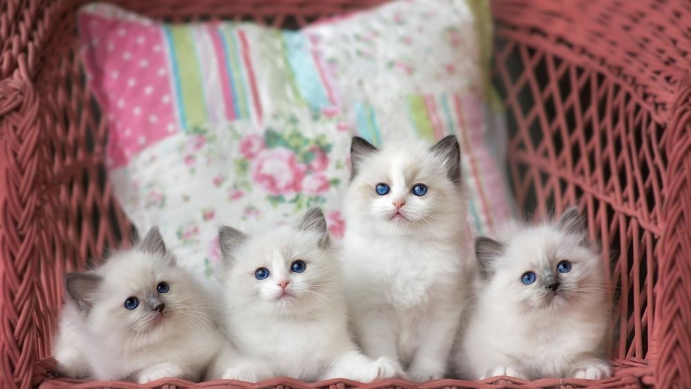 Kucing Ragdoll Penerangan Baka Watak Penjagaan Dan Penyelenggaraan