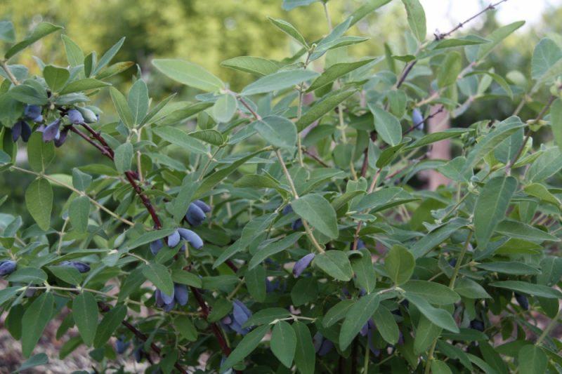 Cây kim ngân xanh Trục chính: mô tả giống, thụ phấn, trồng và chăm sóc, sinh sản