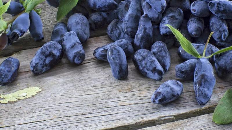 Zimolez Morena: popis odrůdy, opylovače, výsadba a péče