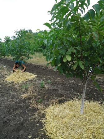 Mulčējot sausserža augsni un augļu kokus