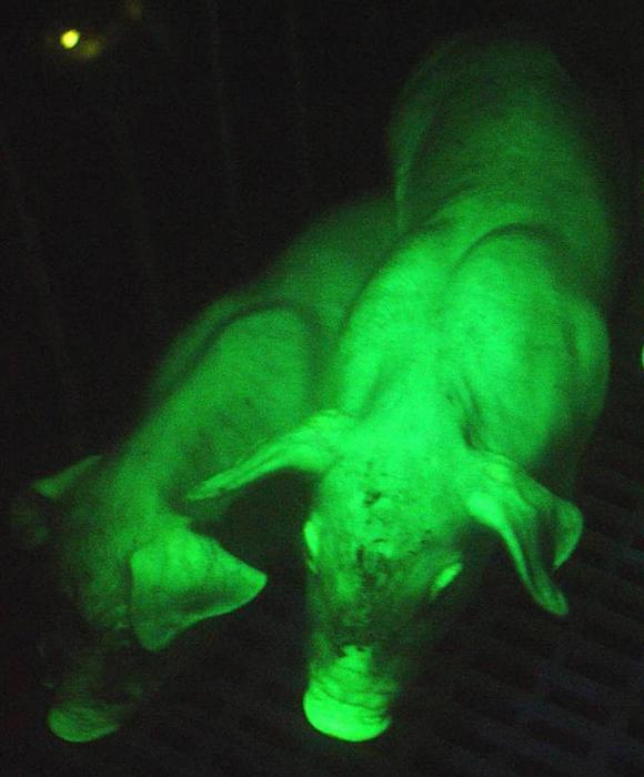 Porcs verts OGM