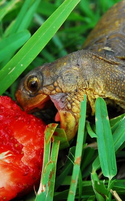 Friandise préférée de la tortue.