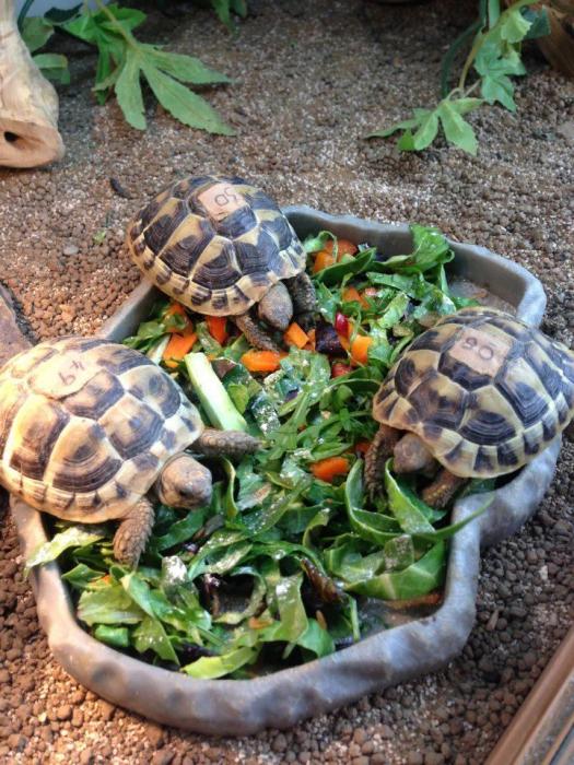 Le régime alimentaire de la tortue doit être varié et nutritif.