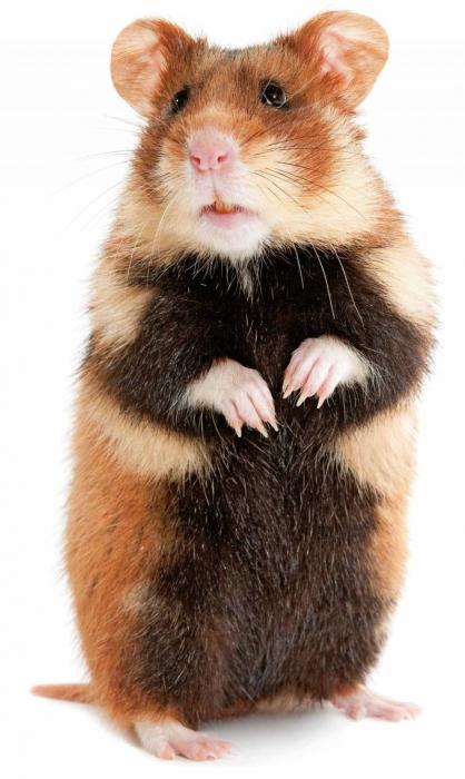 pneumonie de hamster