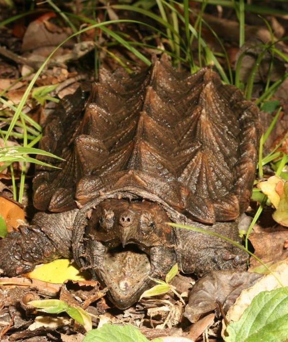 plēsīgais bruņurupucis