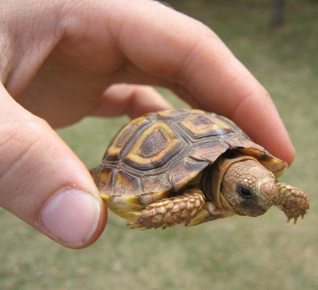 mazākais bruņurupucis pasaulē