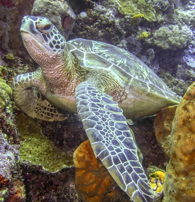 zaļais bruņurupucis