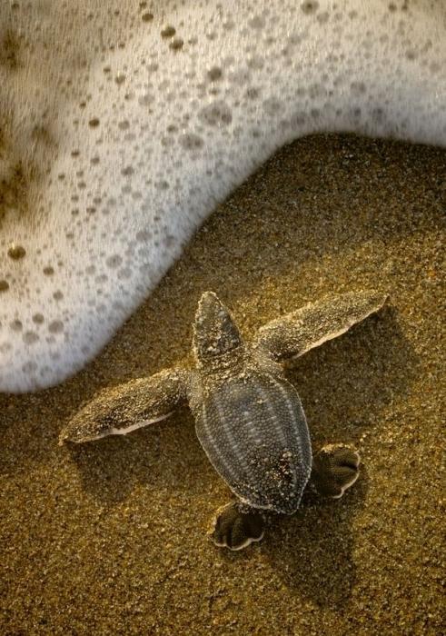 ādas bruņurupucis