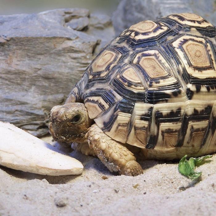 leoparda bruņurupucis