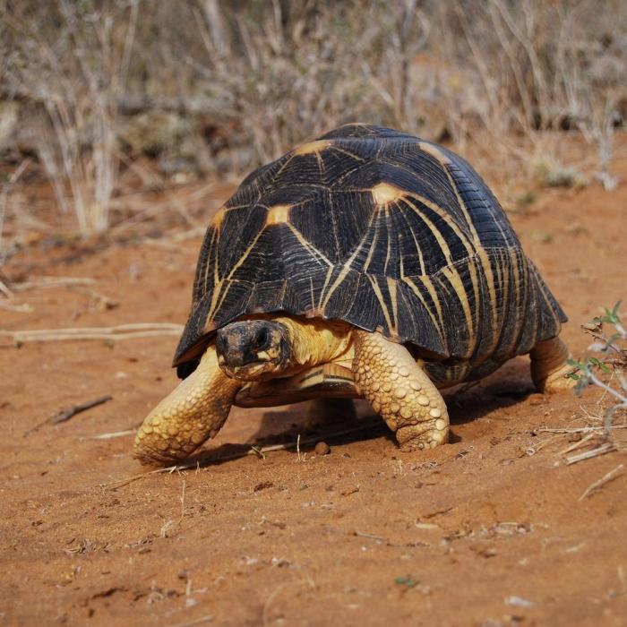 starojošs bruņurupucis