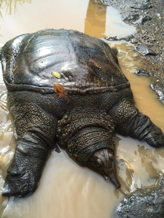 Tālo Austrumu bruņurupucis