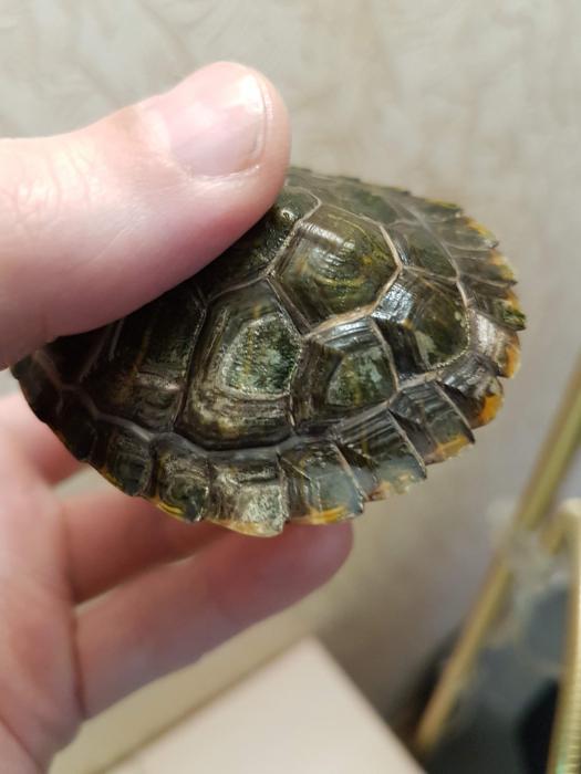 Con rùa có vỏ mềm