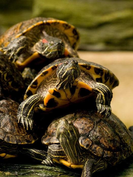 Triệu chứng của một màng nhĩ ở một con rùa