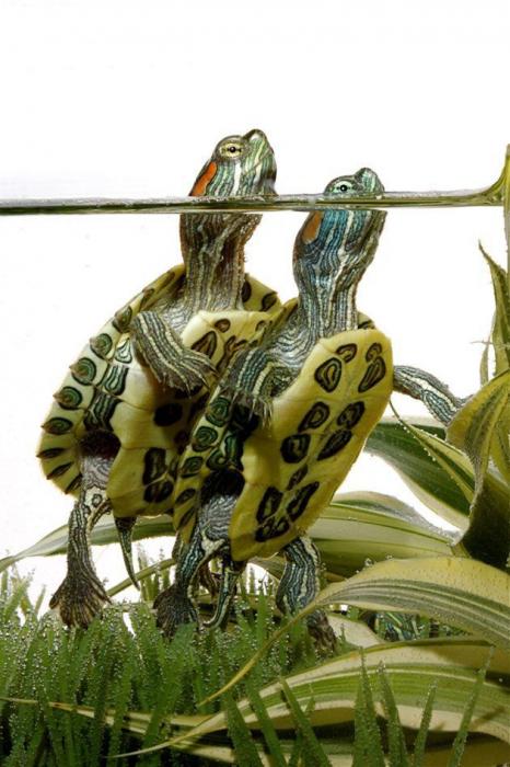 otite chez une tortue à oreilles rouges
