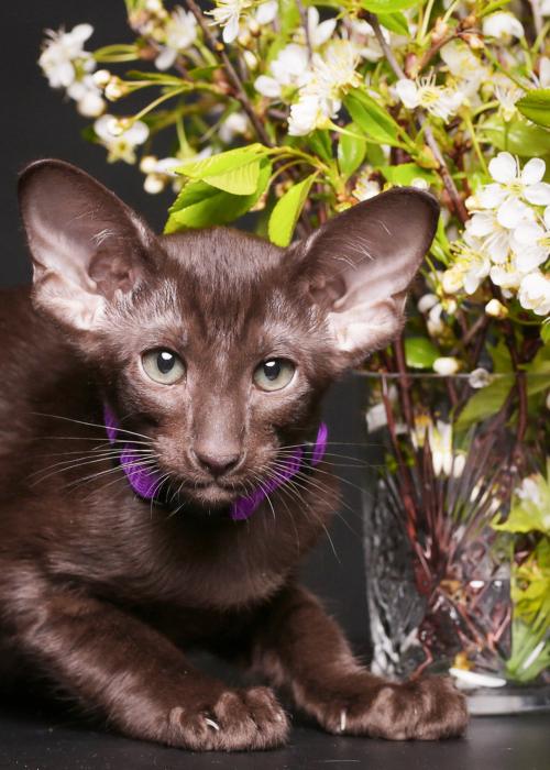 keleti macska