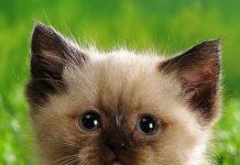 viêm phổi ở mèo con