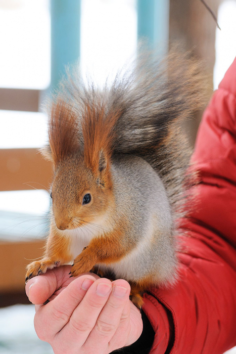 házi mókus
